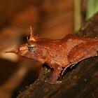 Solomon Eyelash Frog by naturalnomad