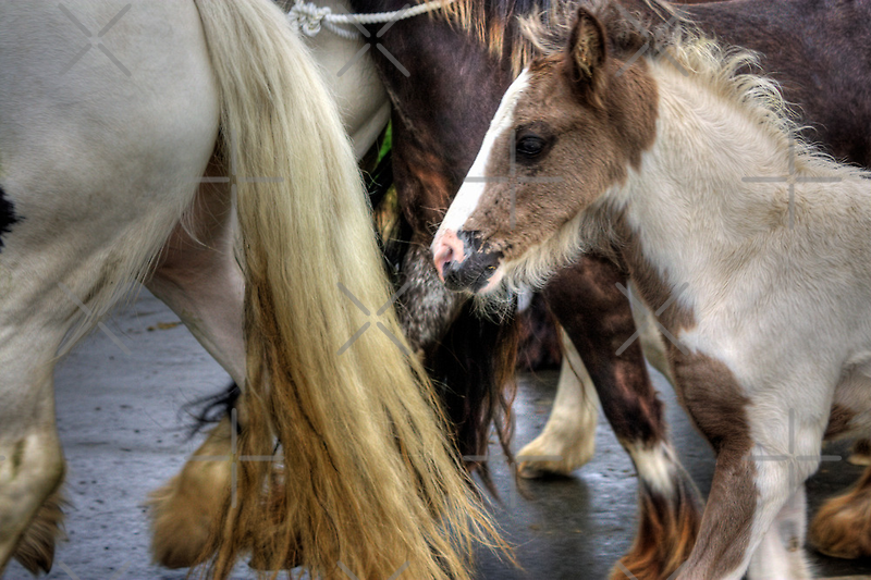 Foal at the Appleby Horse Fair by Tom Gomez