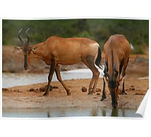 Hartebeest at Waterhole Poster