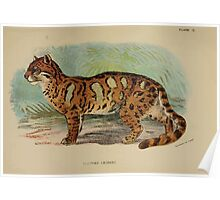 A Handbook to the Carnivora Richard Lydekker 1886 0143 Clouded Leopard Poster