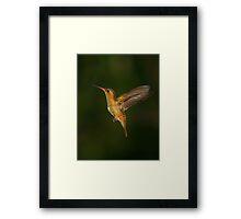 Male Gilded Hummingbird Framed Print