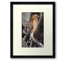 Red-shouldered Hawk Framed Print
