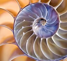 Chambered nautilus (square version) by Celeste Mookherjee