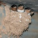Baby Swallows by Rachael Taylor