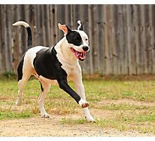 One Happy Pit-bull Photographic Print