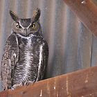 Great Horned Owl ~ Rafter Raptor  by Kimberly P-Chadwick