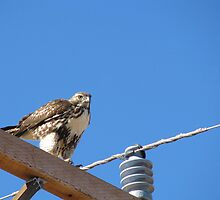 Red tailed Hawk by Sherry Pundt