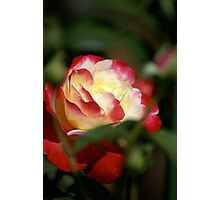 Red and Yellow rose, garden, cranbourne, Vic. Photographic Print