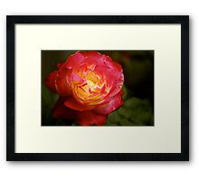 rose with two colours, garden, Cranbourne, Vic. Framed Print