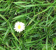 Single daisy Hiding in the Grass by Jacqueline Martin
