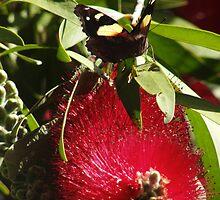 Australian Admiral Butterfly - Vanessa itea - Adelaide, Australia by Dan & Emma Monceaux