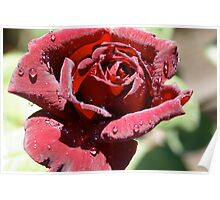 Raindrops on dark red rose, Cranbourne, Vic. Poster