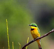 Little Bee-Eater (Merops pusillus) by Jim O'Rourke