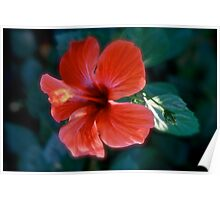 Hibiscus from Lycia (Turkey). Brown Sugar BookStory 2008. Virews : 465. Poster