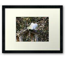 A cockatoo thief checking out the feed table Framed Print