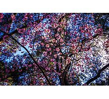 Is it Cherry Blossom Season Yet? Photographic Print