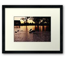 Pelican on a lake at sunset, Lynbrook, Vic. Framed Print