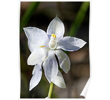 Blue speckled white scented sun orchid. Poster