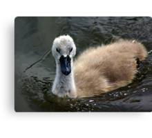 Young Cygnet Canvas Print