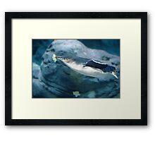 Penguin Swimming - Taronga Zoo Framed Print