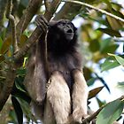 Singing Gibbon - Taronga Zoo by Alastair Faulkner
