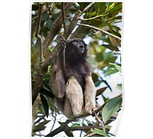 Singing Gibbon - Taronga Zoo Poster
