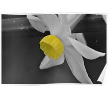 Dwarf Daffodil In Selective Colour  Poster