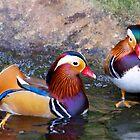 Ducks by Alastair Faulkner