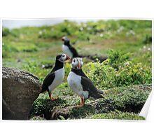 Puffins on Skomer Island Poster