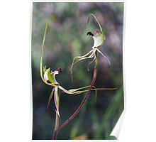 Hairy Spider Spider Orchid - Arachnorchis villosissima Poster