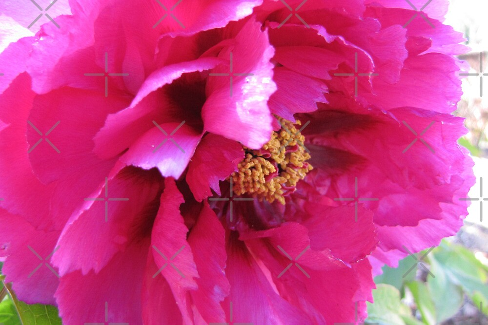 Ruffled pink petals by georgiegirl
