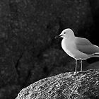 Silver Gull by Will Hore-Lacy
