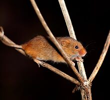 Harvest Mouse by Norfolkimages