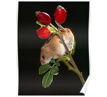 Rose Hip Mouse Poster