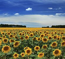 Sunflowers, Vienne by PaulineC