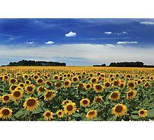 Sunflowers, Vienne Photographic Print