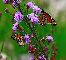 Monarchs on Purple by eaglewatcher4