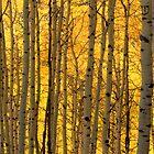 Aspen Gold by Steve  Taylor
