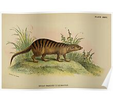 A Handbook to the Carnivora Richard Lydekker 1886 0350 Broad Banded Cusimanse Poster