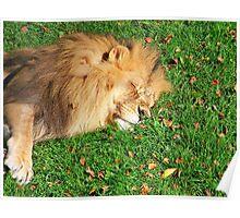 Sleeping Lion King Poster