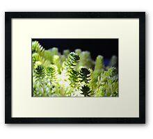corel or suculant Framed Print