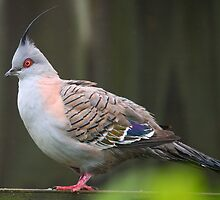 Crested Pigeon by wayne51