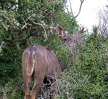 Kadu in the bushes by Gareth Leggett