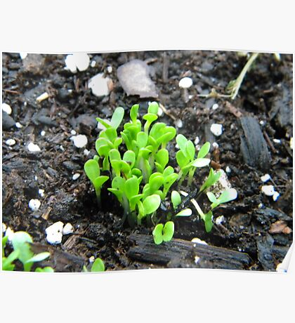 endive seedling Poster