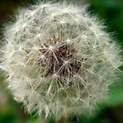 Soft Dandelion Dream  by photographyes