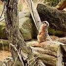 Sunbaking - Meerkat style by TMphotography