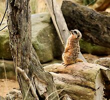 Sunbaking - Meerkat style by TMphotography