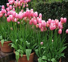 Pink Tulips by Betty Mackey