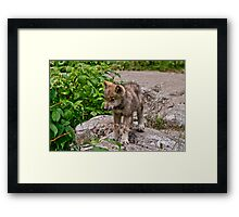 Timber Wolf Pup Framed Print