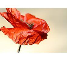 paper poppy Photographic Print